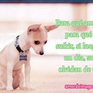 Imágenes con frases de amor con perros chihuahuas cachorro triste