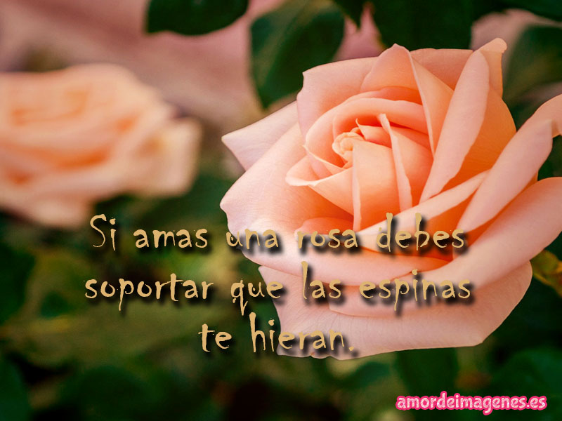 Imágenes de Rosas con Frases de Amor rosa rosada