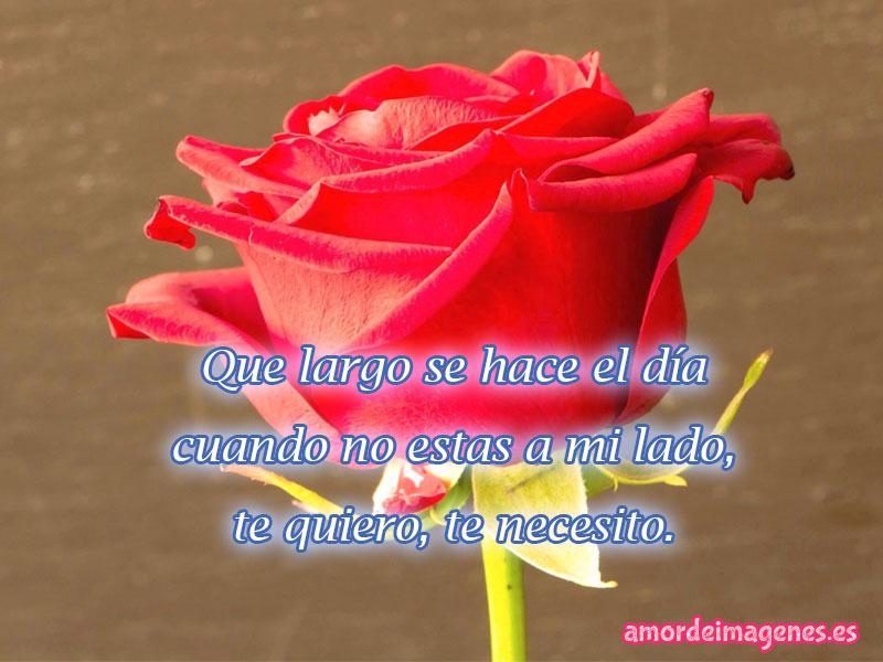 rosas rojas rosa sola