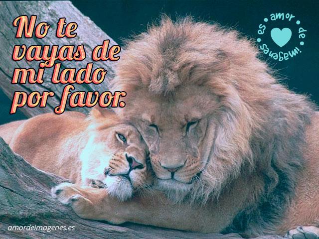 leones hermosos durmiendo