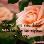 imagenes-de-rosas-con-frases-de-amor-rosa-rosada